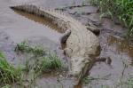 A Costa Rican croc