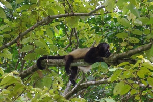 A howler monkey demonstrates his  howlilng skills.