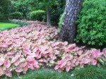 Caladiums do well in this shady garden.