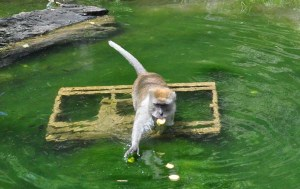 Food treats allow Java monkeys to show off their diving and swimming skills - or not.